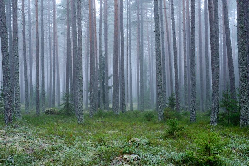tallskog stammar disigt 860