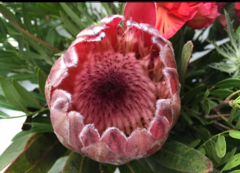 Protea beskuren 2